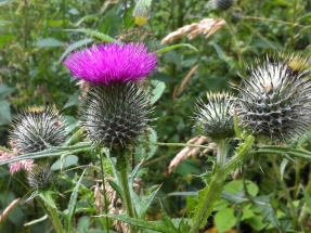 spearthistle_7992056584_o